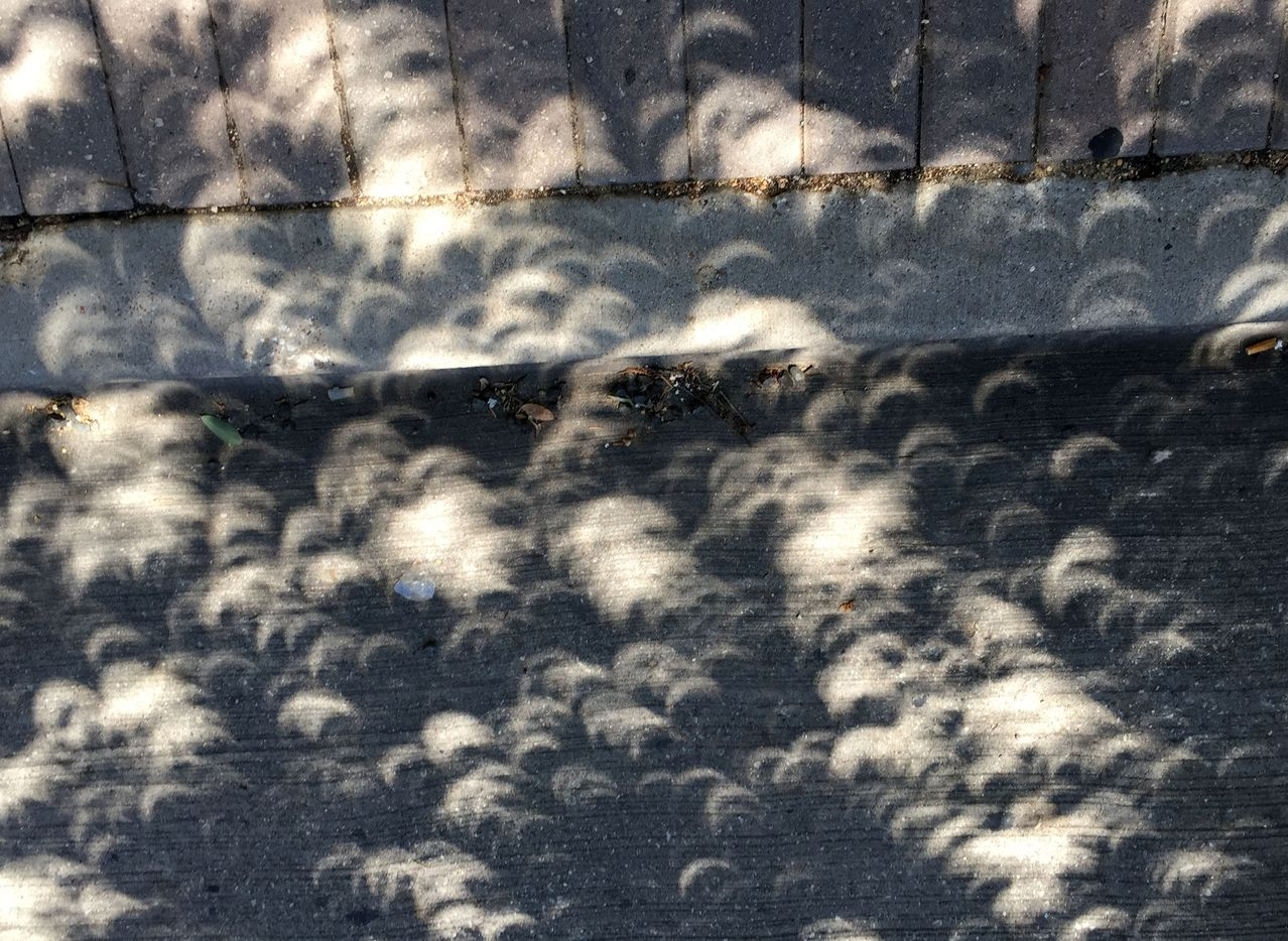 At the peak of the partial solar eclipse in Dallas, the sun's rays streaming through tree foliage cast half-moon-like shadows on the ground, at about 1:10 pm, near Baylor Medical Center.