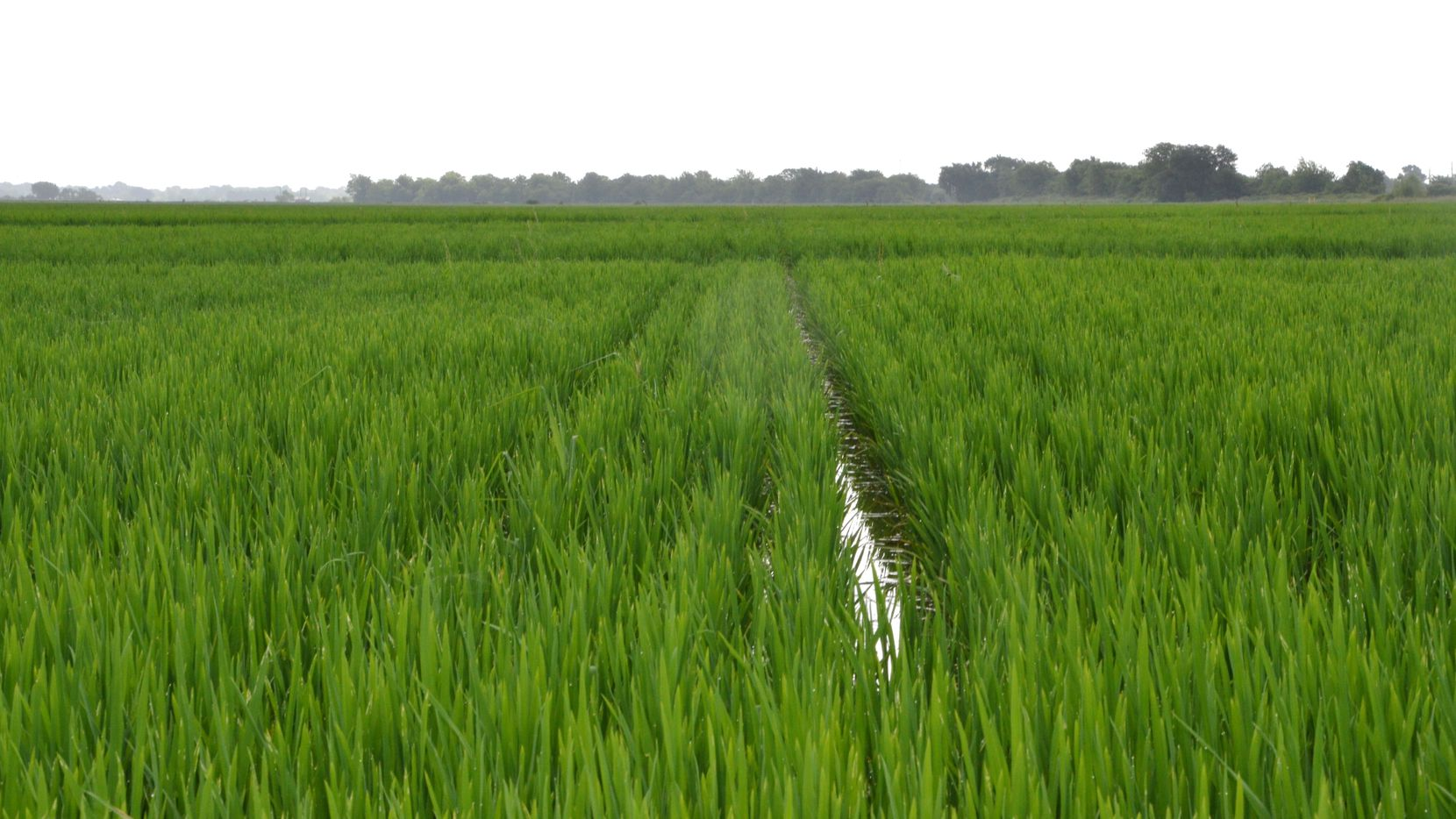 A rice field in southeast Texas. (Courtesy of Texas A&M AgriLife Communications.)
