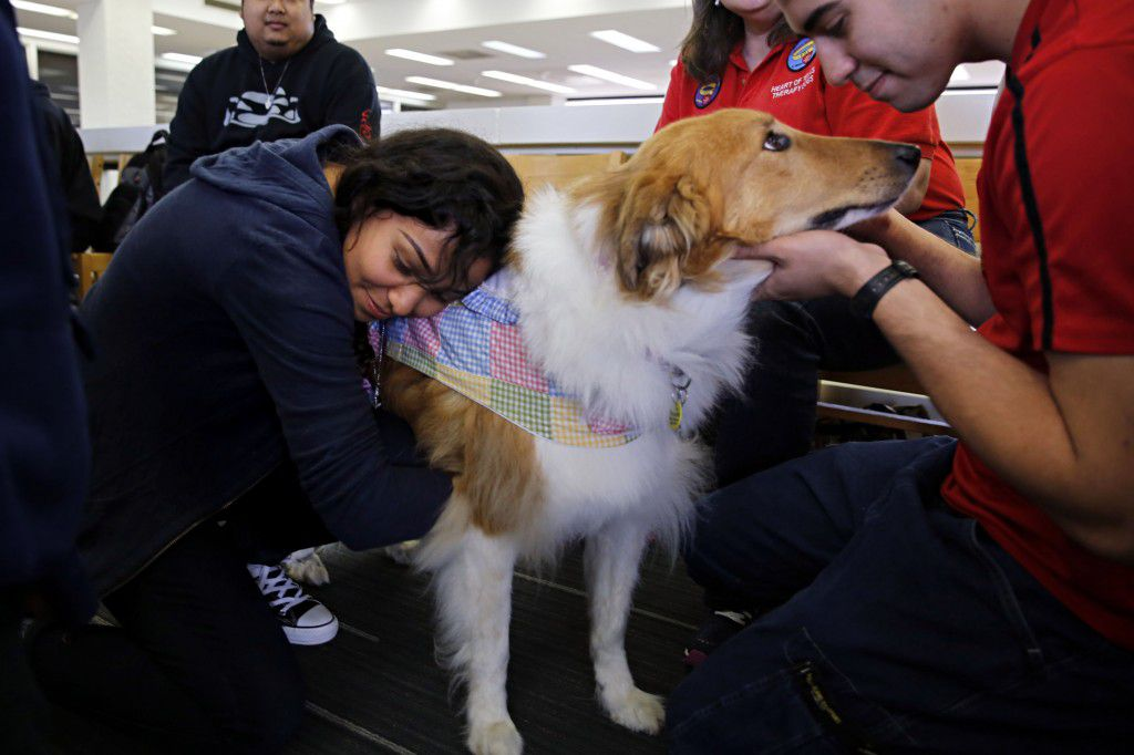 Hilare Lopez (left) and Yeltsin Canini pet Daisy, an eight-year-old therapy dog, during her visit to Mountain View College in Dallas. (G.J. McCarthy/The Dallas Morning News)