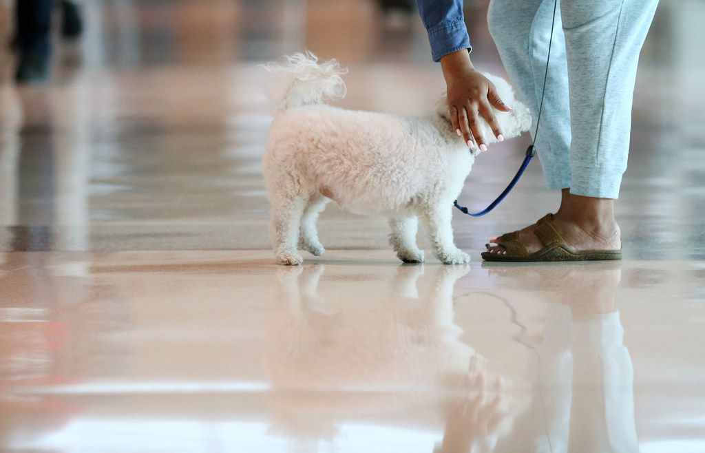 A passenger reaches to pet her support dog while waiting in baggage claim at Dallas Love Field Airport in Dallas.
