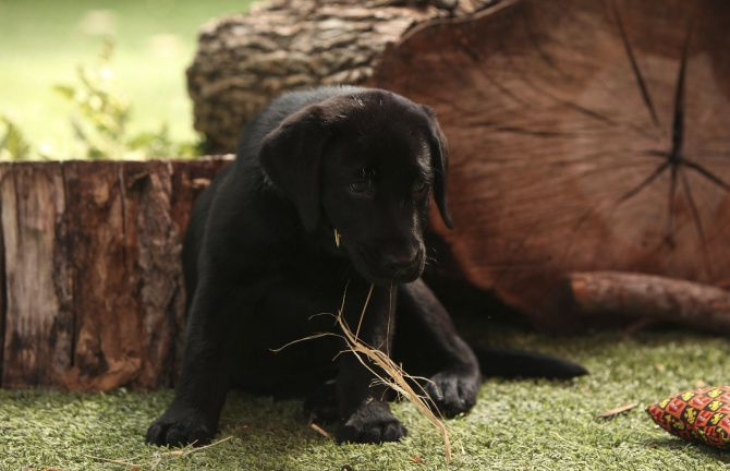 Amani, a black lab puppy in the Wild Adventures area at the Dallas Zoo in Dallas, Texas on Wednesday, September 18, 2013.