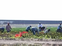 Workers harvesting the land while a new section of the wall is being built in Pharr, Texas on Wednesday, January 13, 2021.