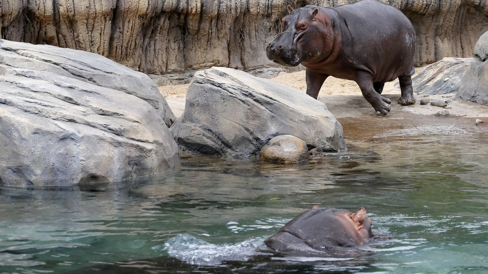 Boipelo runs towards the water to join Adhama during the grand opening of the Dallas Zoo's hippo exhibit in Dallas on Friday, April 28, 2017.