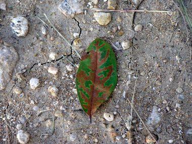 Oak wilt on a live oak treeOLYMPUS DIGITAL CAMERA