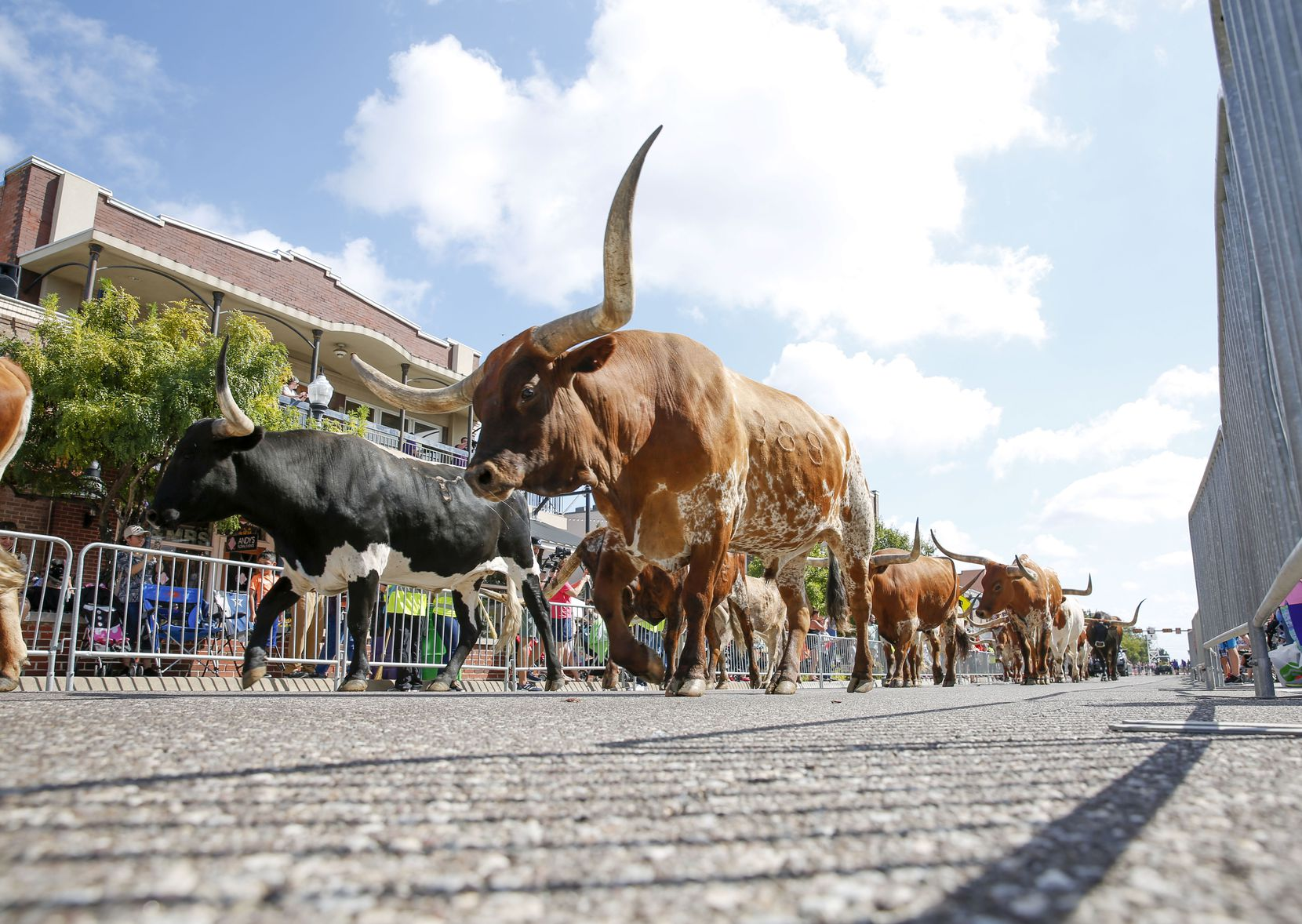 Longhorn cattle walk down the parade route at Lewisville Western Days in 2019. The 2021 event will be held Sept. 24-25.