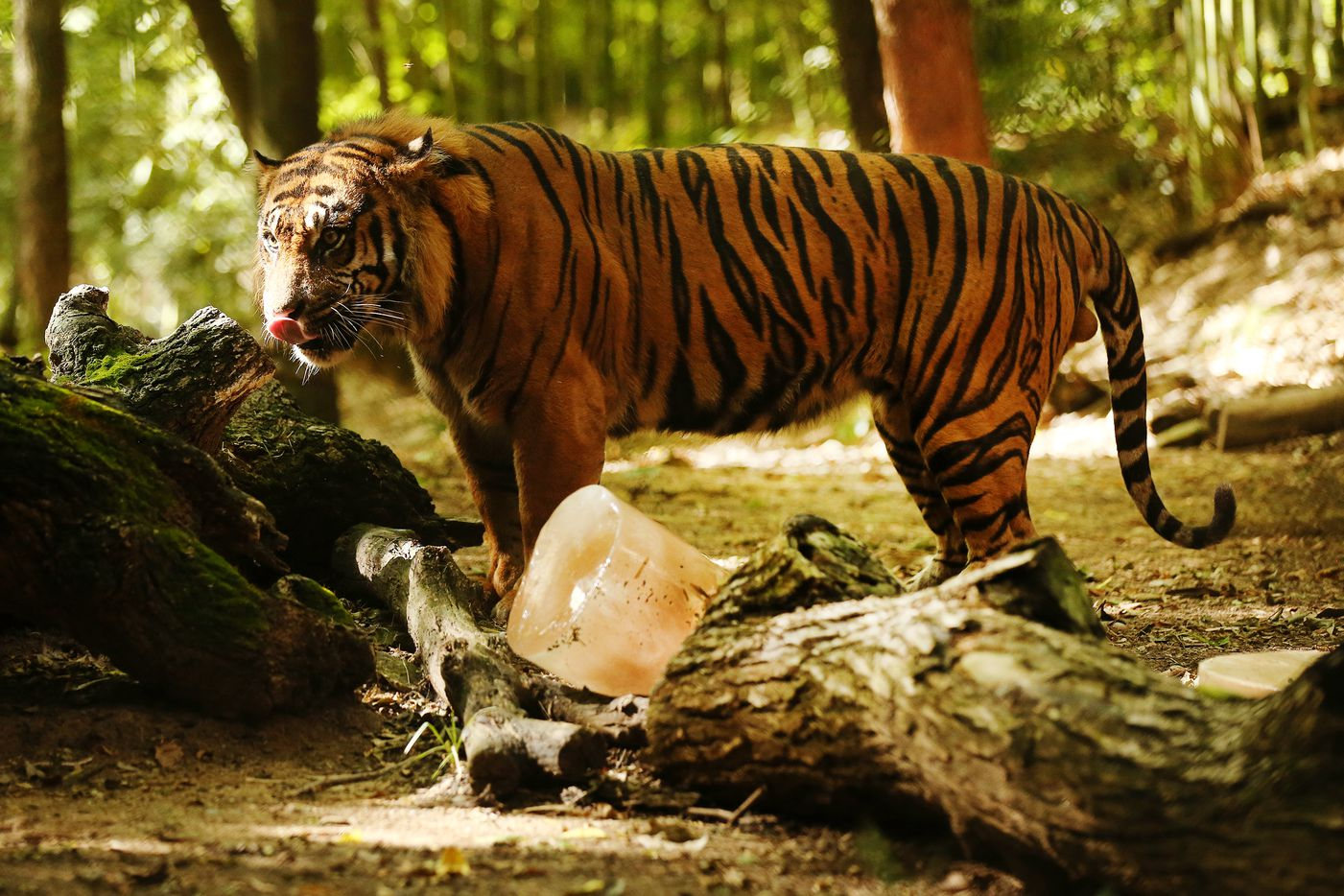 Manis, a sumatran tiger, stood near a frozen enrichment treat at the Dallas Zoo last June. The treat was made out of chicken broth. Nearby was a serving of ground beef and a frozen watermelon.