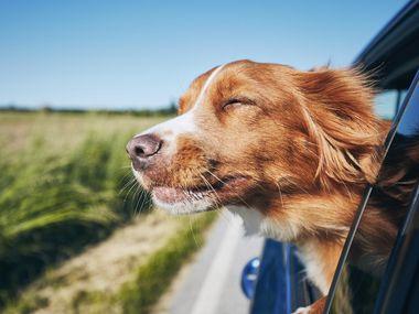 Muchos perros suelen asomarse por la ventana del coche, pero si no los cuidan, su salud puede afectarse seriamente; evítalo con estos tips.