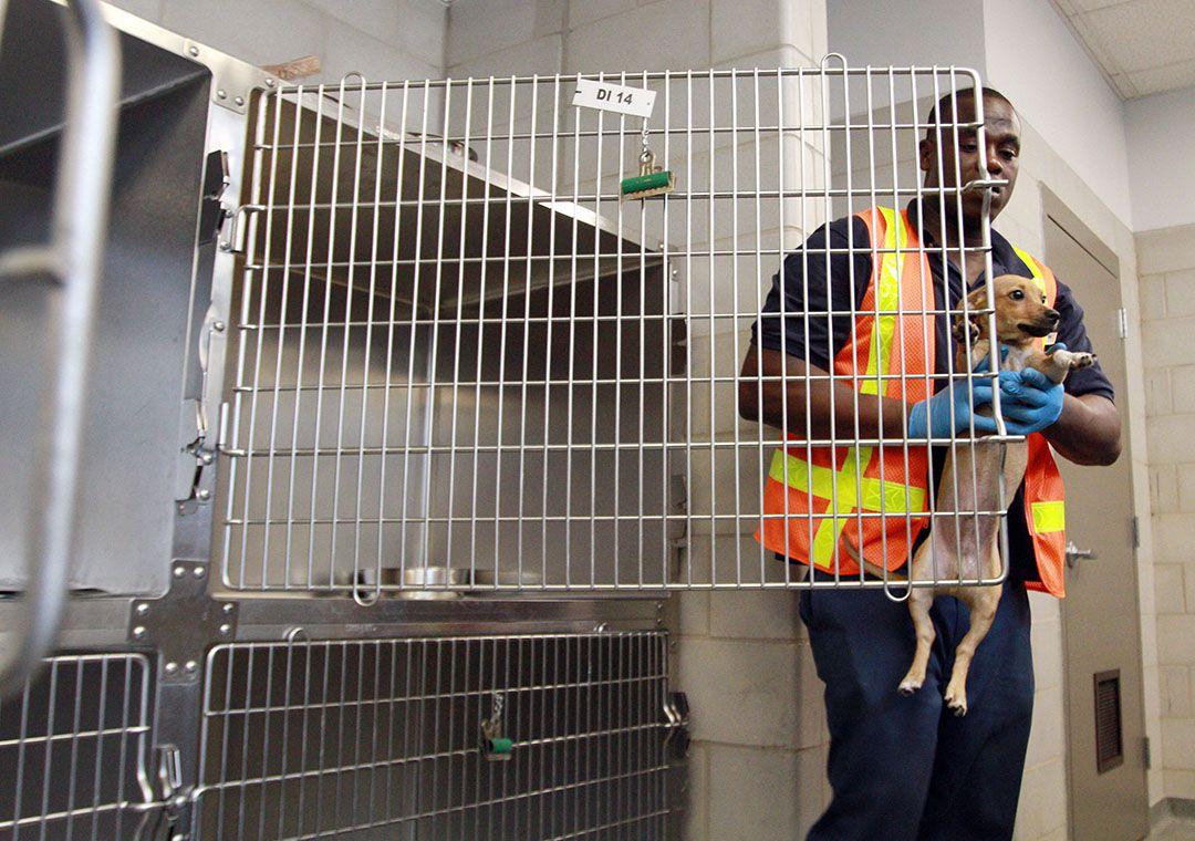 Muchos perros, si no son adoptados, son sacrificados en centros como Dallas Animal Services, según Humane Society.