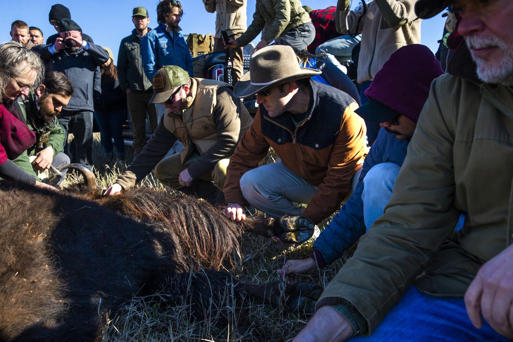 John Dilday (center), from Fort Worth, Texas, gently touches the body of bison 26 shortly after her death during a bison field harvest event at Roam Ranch in Fredericksburg, Texas, on Sunday, Jan. 19, 2020. Paying attendees learned about the ranch's regenerative agriculture model and to witness and participate in the field harvest of a bison.