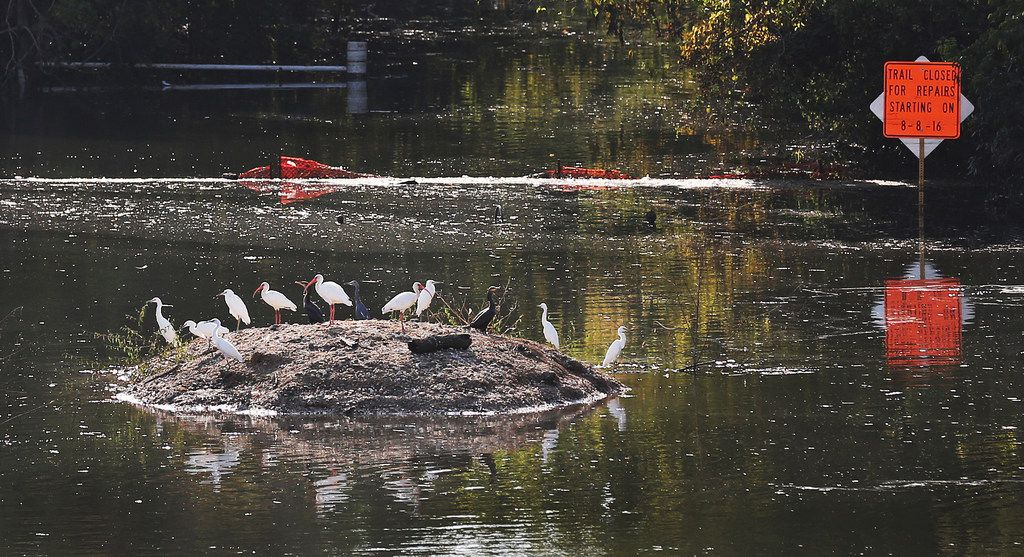 A variety of birds find a dry perch in the Barker reservoir in west Houston on Monday, September 11, 2017. (Louis DeLuca/The Dallas Morning News)