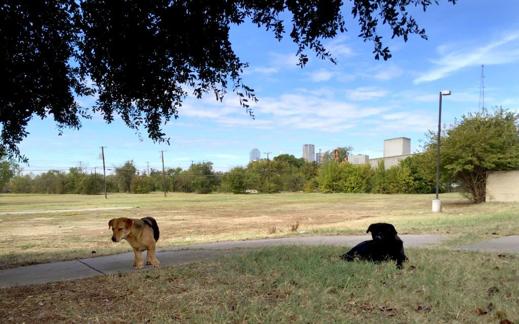 Two large strays start to get up to join two others as they're approached by the photographer outside the Juanita Craft Post Office on Al Lipscomb Boulevard near Fair Park in southern Dallas in 2015. Downtown can be seen in the distance. Stray dogs in the area are not uncommon.