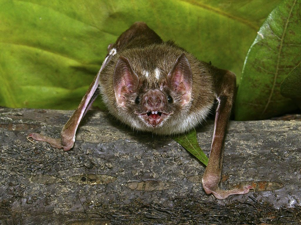 Bats are known carriers of rabies, but their bites can be so small that they go undetected.