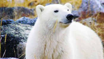 Close-up views of polar bears in the wild are common at the Seal River Heritage Lodge in Churchill, Manitoba.