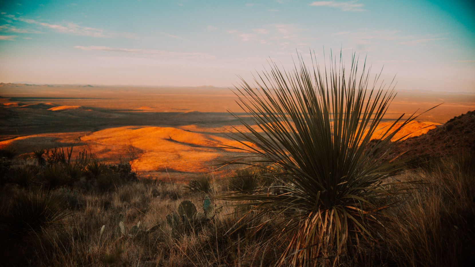 Sotol is a mezcal-like spirit made from a namesake plant that has grown wild for millennia in the Chihuahuan Desert regions of the U.S. and Mexico.