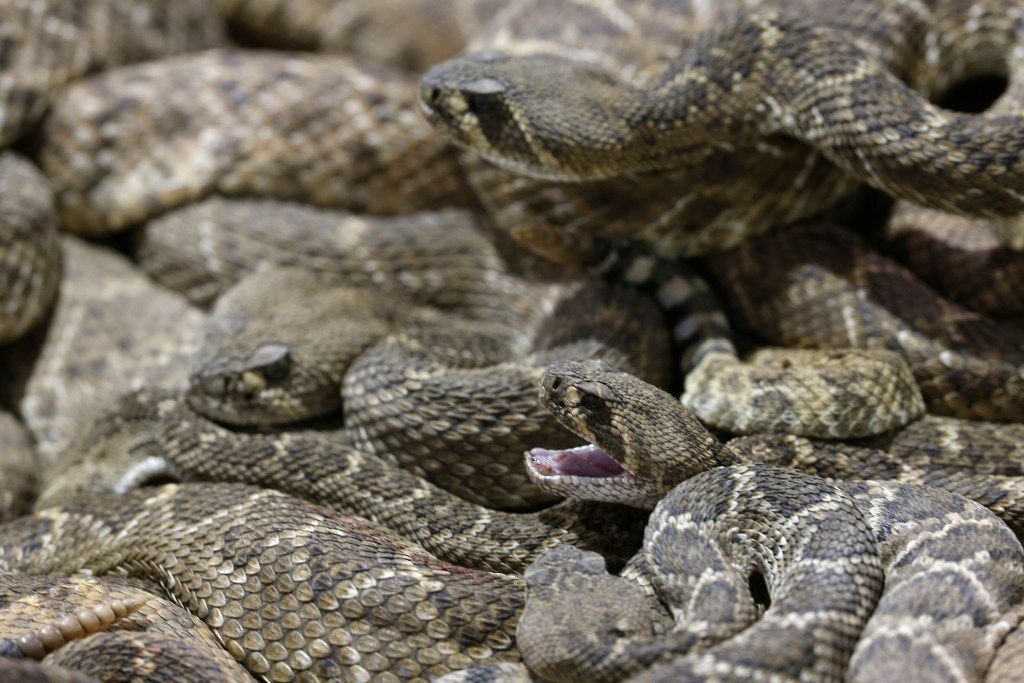 Rattlesnakes in the collection pit at Nolan County Coliseum during the Sweetwater Rattlesnake Roundup in Sweetwater, Texas on March 10, 2017.