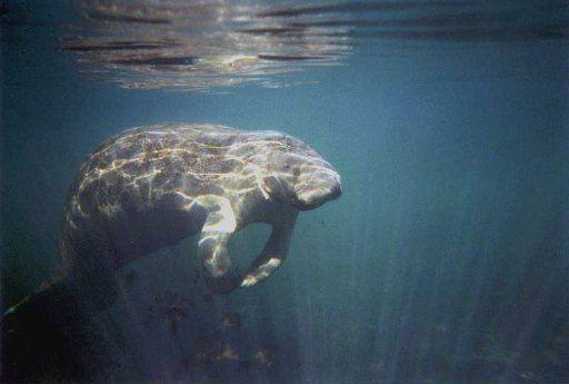 El manatí es un animal en peligro de extinción.