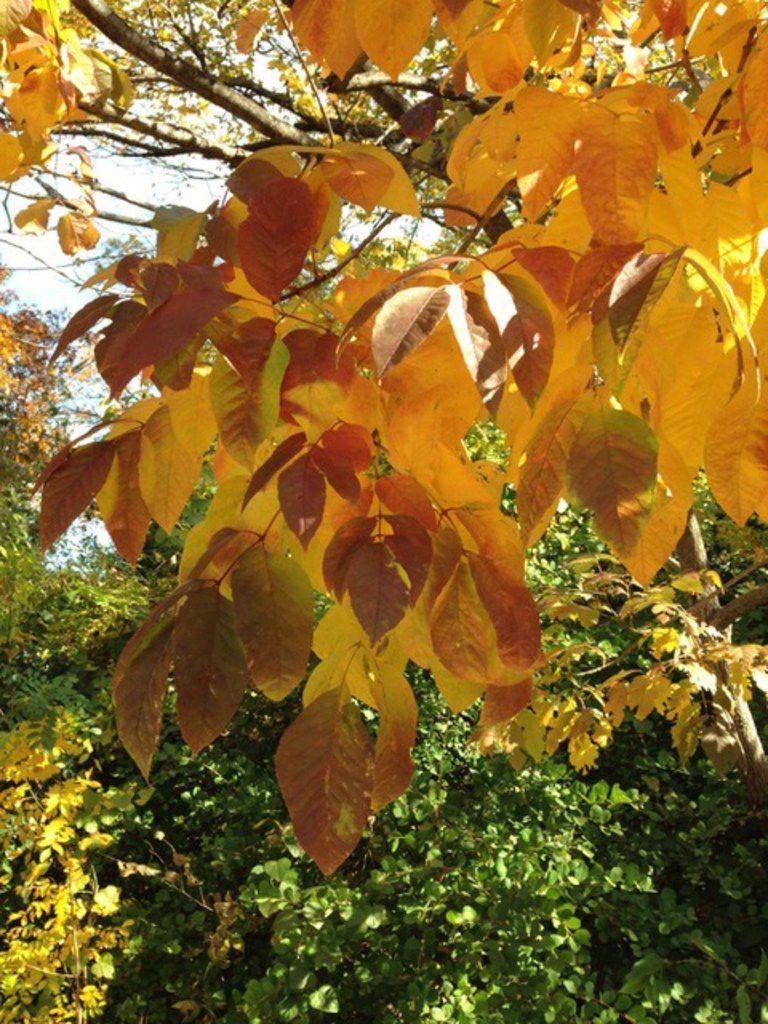 The Texas ash tree produces beautiful fall color.