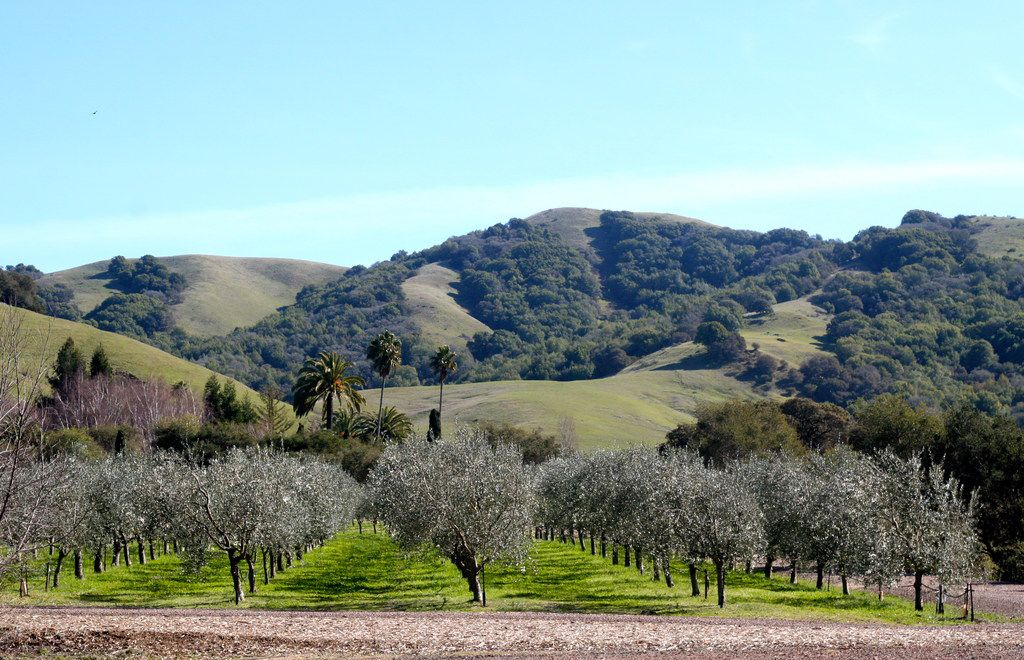 The certified organic McEvoy Ranch grows several varieties of Italian olives, such as Coratina, Frantoio and Leccino.