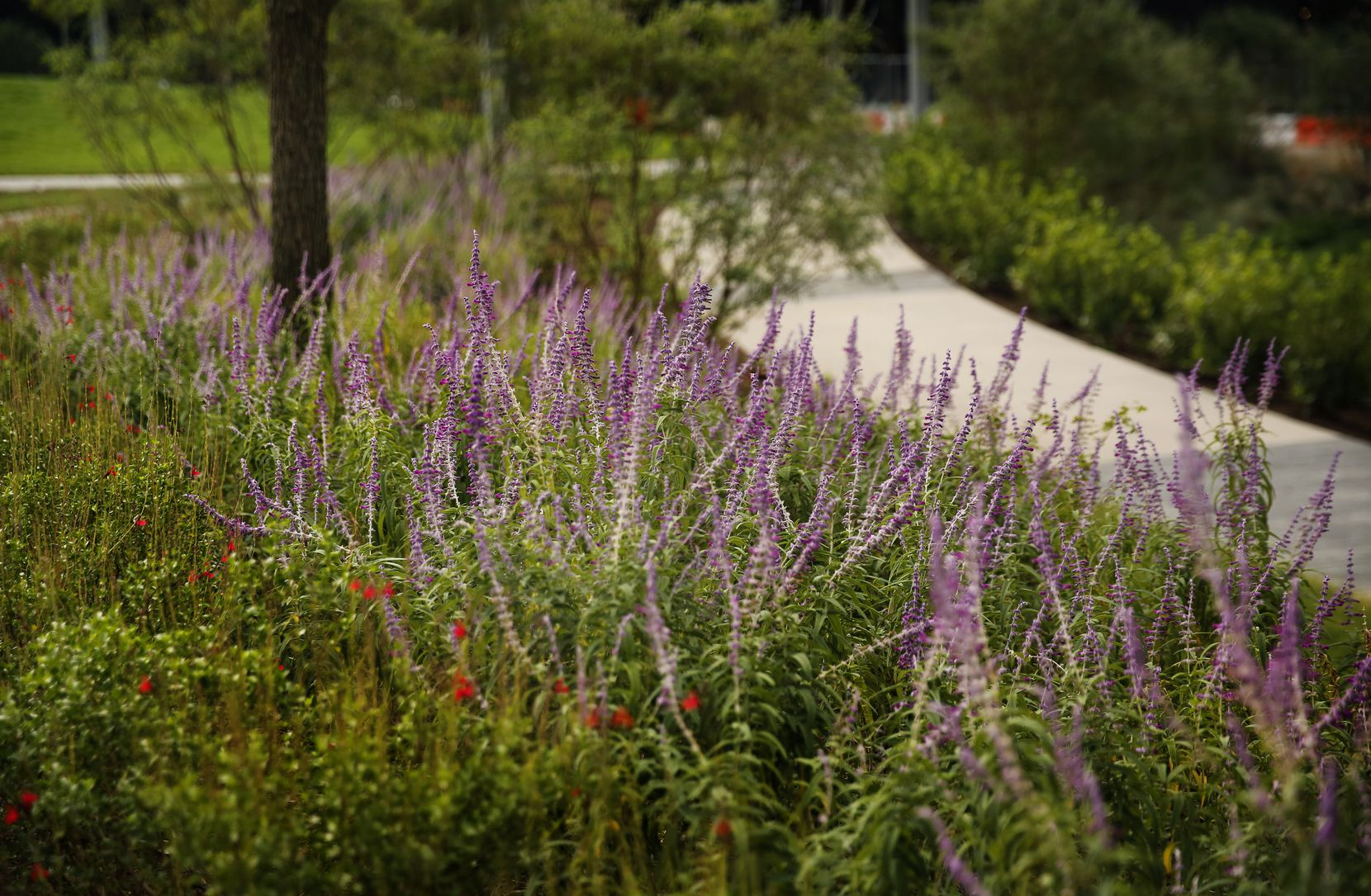 Pathways in Pacific Plaza, a new park opening Monday on the east side of downtown Dallas, are lined with various native, adapted and water-wise plants.