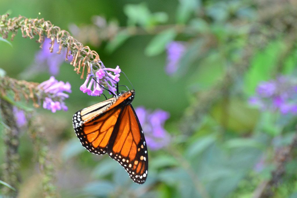 Monarch butterflies feed during their yearly migration from Canada back to Mexico.