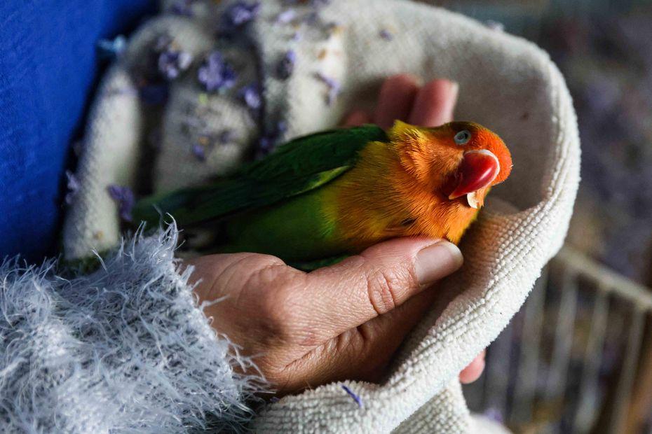 Marleny Almendarez, de 38 años, muestra al periquito Little Rainbow, quien murió por el frío la noche que se quedaron sin luz.
