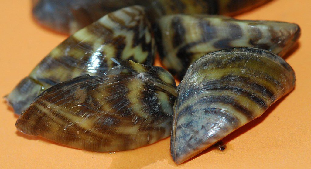Zebra mussels are small in size but the invasive species can cause big problems on lakes and rivers. TPWD says 15 reservoirs have established reproducing populations.
