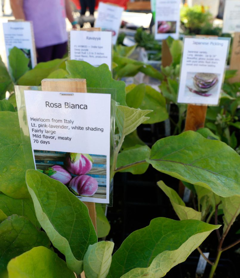 Detail photo of Rosa Bianca, an eggplant, offered at the Gardeners in Community Development booth at the White Rock Lake Farmers Market.