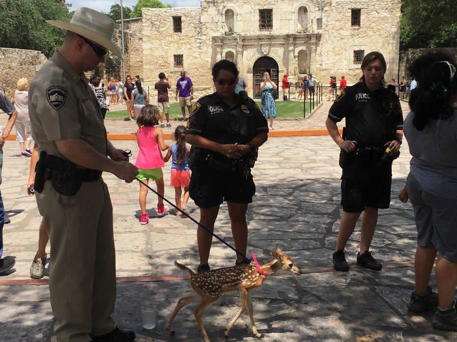 """Officials take custody of a white-tailed deer fawn at the Alamo on June 30, after a woman brought it for """"family photos"""" on a leash. The woman was cited. The fawn was sent to a rehabilitation center. (TPWD)"""