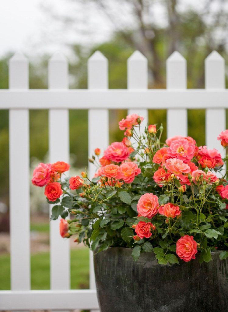 Coral Cove rose, Easy Elegance Roses