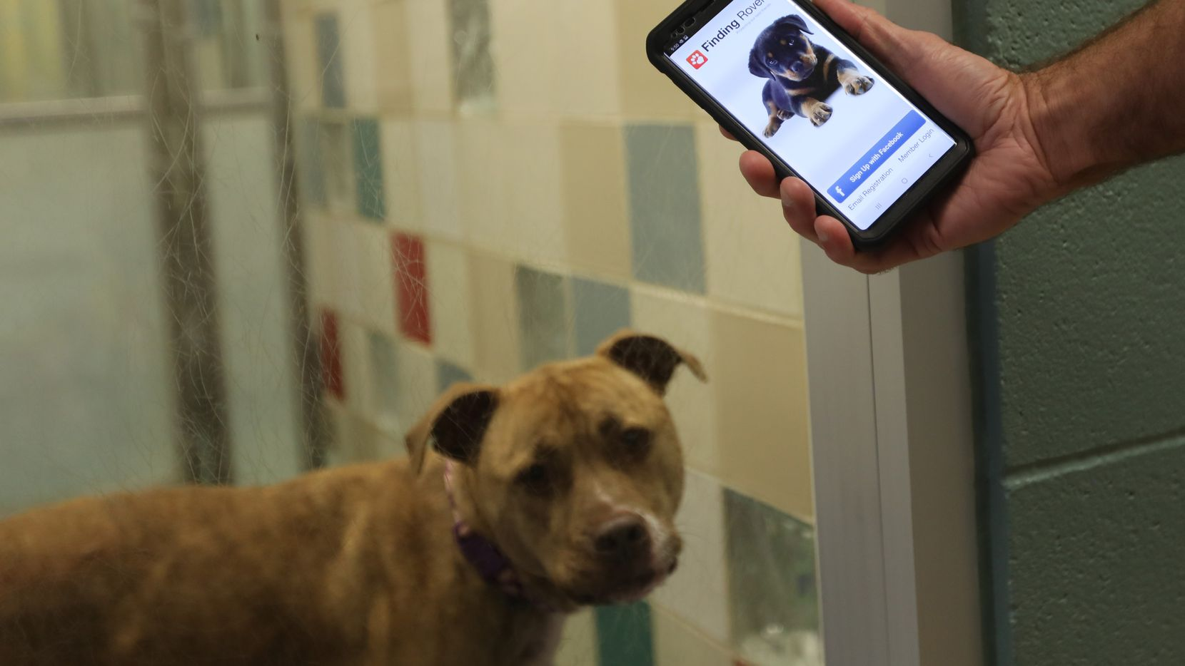 Jamey Cantrell holds his phone with the Finding Rover app at the Plano Animal Services Department. The Plano animal shelter is using Finding Rover, an app that uses facial recognition technology, to help pet owners find their lost animals when they go missing.