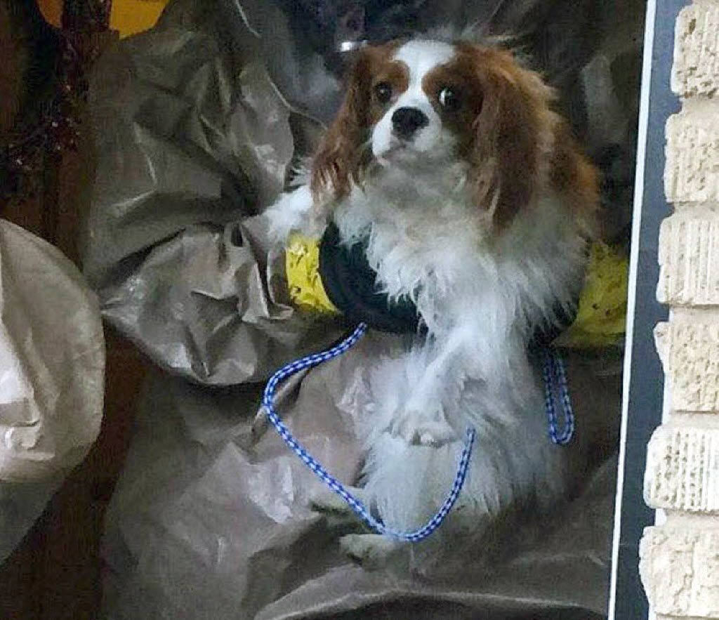 In October 2014, Bentley, the 1-year-old King Charles Spaniel belonging to Nina Pham, the nurse who contracted Ebola, was quarantined at Hensley Field.