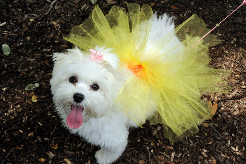 Joy wears her new tutu by Big Doggie Duds at the 21st annual Dog Day Afternoon at Flagpole Hill in Dallas, TX on June 6, 2015.