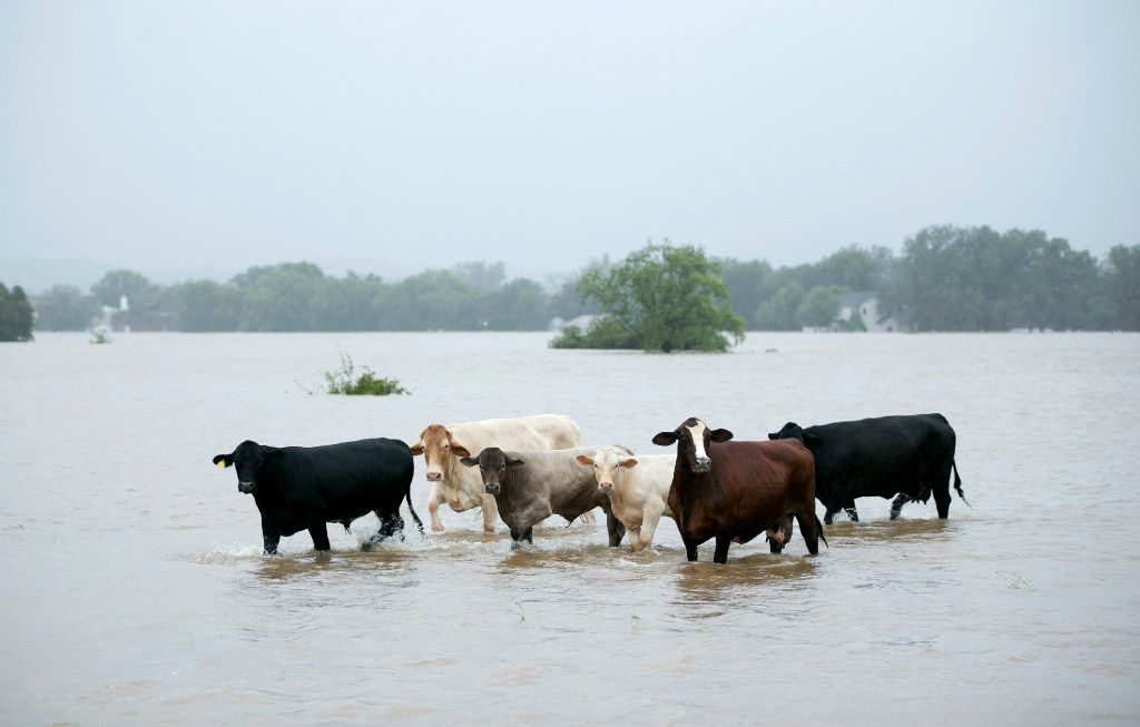 Cattle are stranded in a flooded pasture on Highway 71 in La Grange, Texas, after Hurricane Harvey on Monday, Aug. 28, 2017.