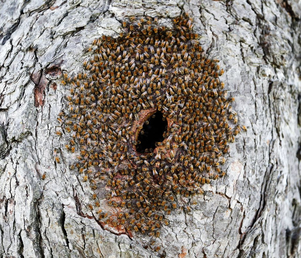 Bees gather close together in the hole of a tree on the Reeves Family Farm in Princeton