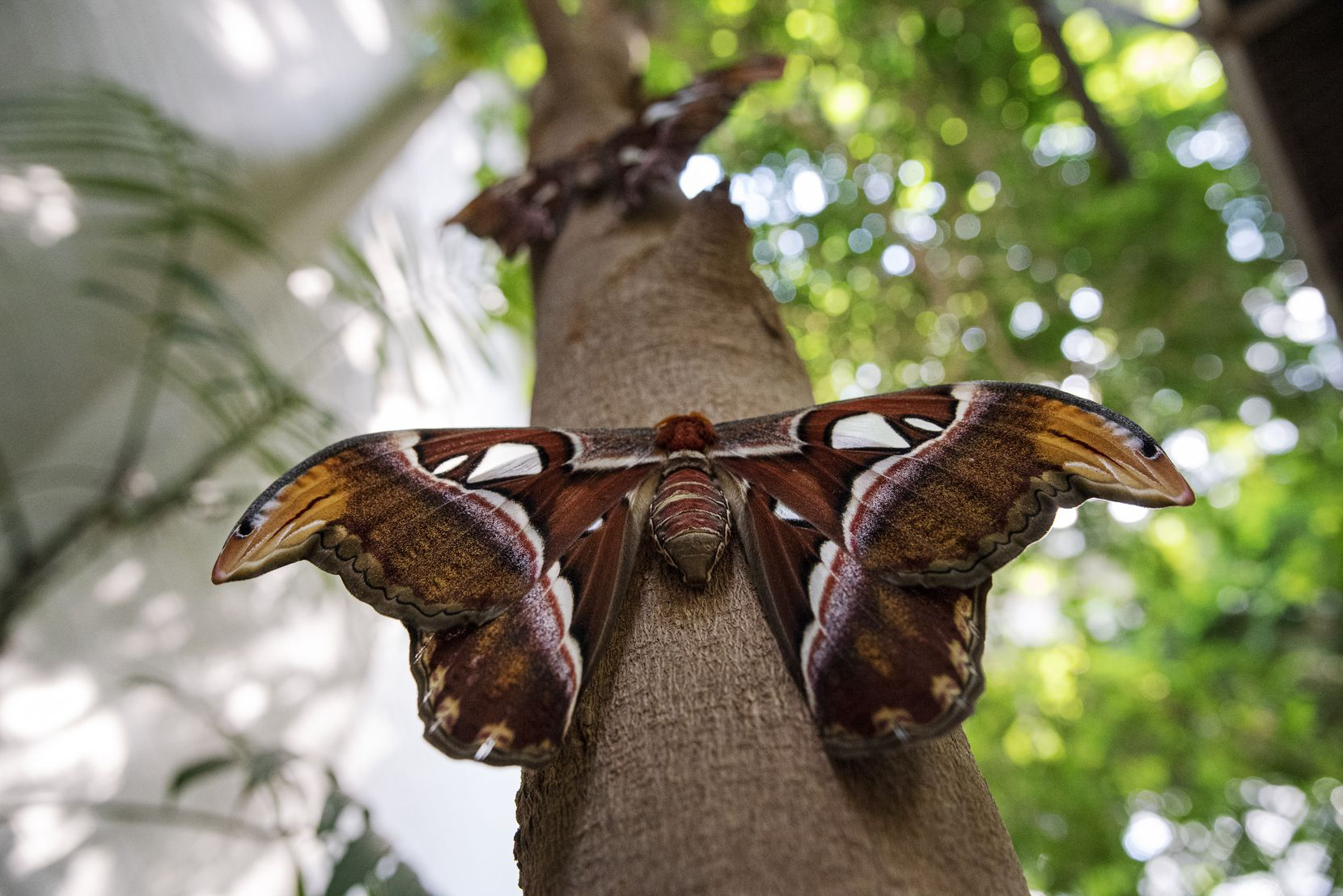 Atlas moth on a tree inside the butterfly house at the Texas Discovery Gardens at Fair Park.