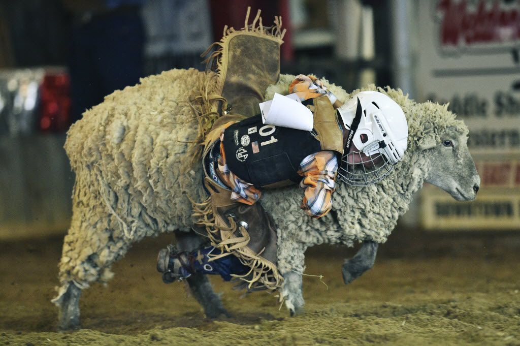 Taos Cook (5) of Chico hangs onto the side of a sheep during the Mutton Bustin' competition Wednesday evening in the First State Bank Livestock Pavilion at the North Texas Fair and Rodeo, Wednesday, August 26, 2015, in Denton, TX. David Minton/DRC