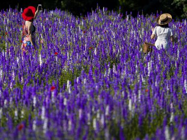 Thao Nguyen (left) and her daughter Phuong Vu walk through a field of wildflowers at Prairie Creek Park on Wednesday, May 6, 2020, in Richardson.