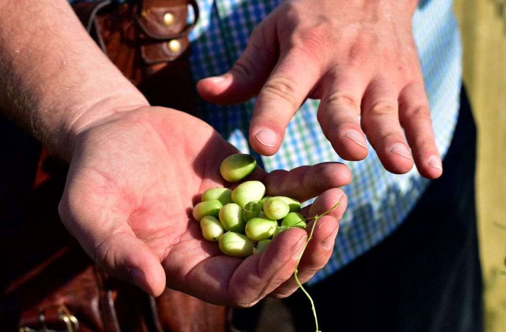 Daniel Cunningham, a horticulturist from Texas A&M AgriLife Research Center, holds a batch of cucamelon.