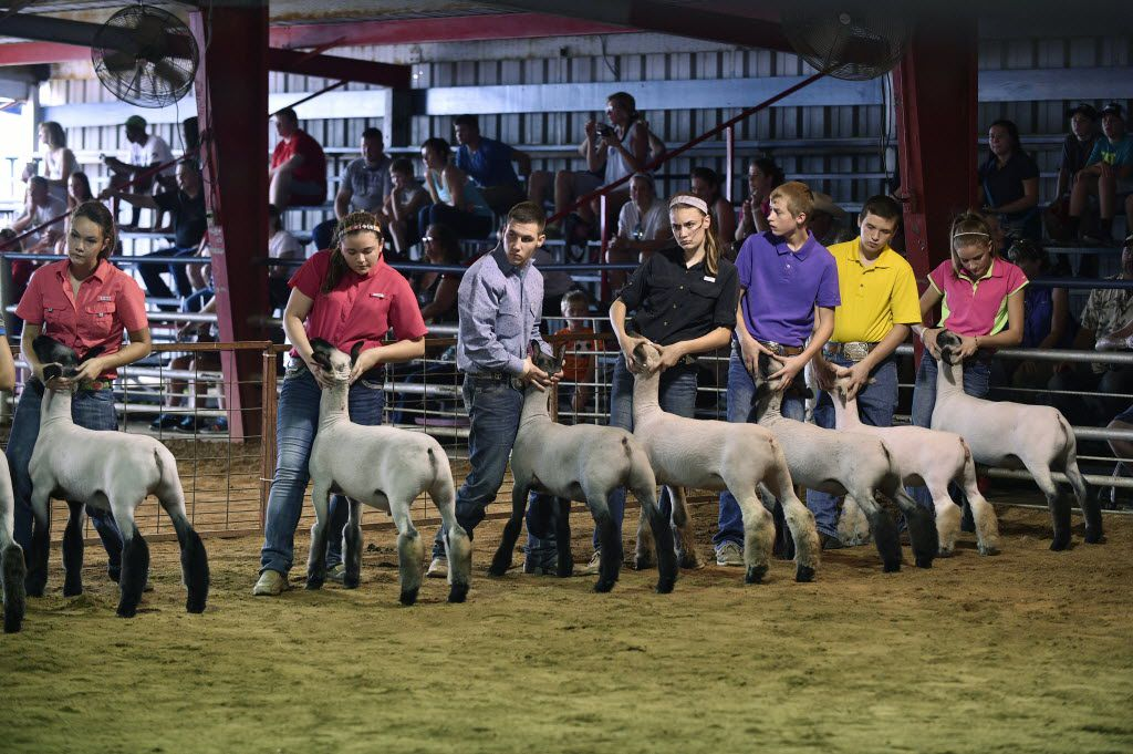 Participants hold onto their animals as they wait on the judge during the Senior Showmanship Lambs show at the North Texas Fair and Rodeo, Saturday, August 29, 2015, in Denton, TX. David Minton/DRC