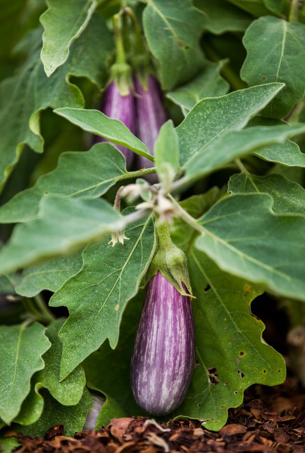 Fairy Tale eggplant grow at the new Tasteful Place edible garden