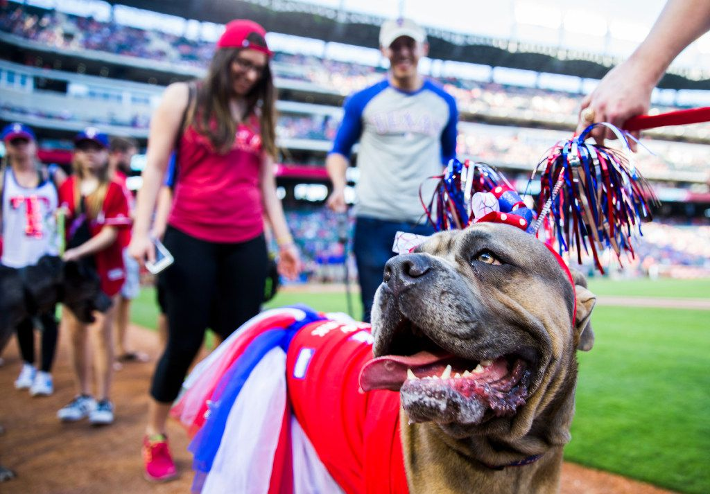 Bella the dog parades around the field with other dogs and their owners during the Texas Rangers' annual Bark in the Park event before the Rangers took on the Oakland Athletics on Saturday, May 13, 2017 at Globe Life Stadium in Arlington, Texas. (Ashley Landis/The Dallas Morning News)