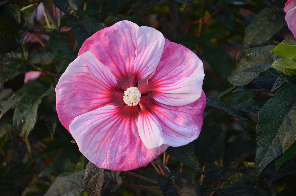 Summerific 'Cherry Choco Latte' Rose Mallow Hibiscus hybrid from Proven Winners