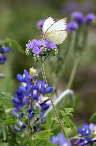 A butterfly rests on a wildflower at Rockport Cemetery, March 19, 2012 in Rockport, Texas.