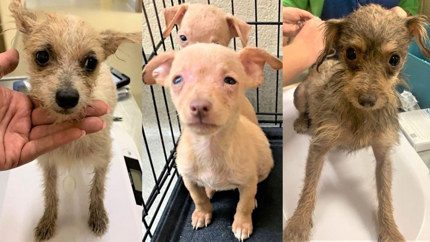 Más de 100 perros fueron rescatados de un hogar de Mesquite. Los perros fueron distribuidos entre varios refugios de rescate animal a lo largo del Norte de Texas.