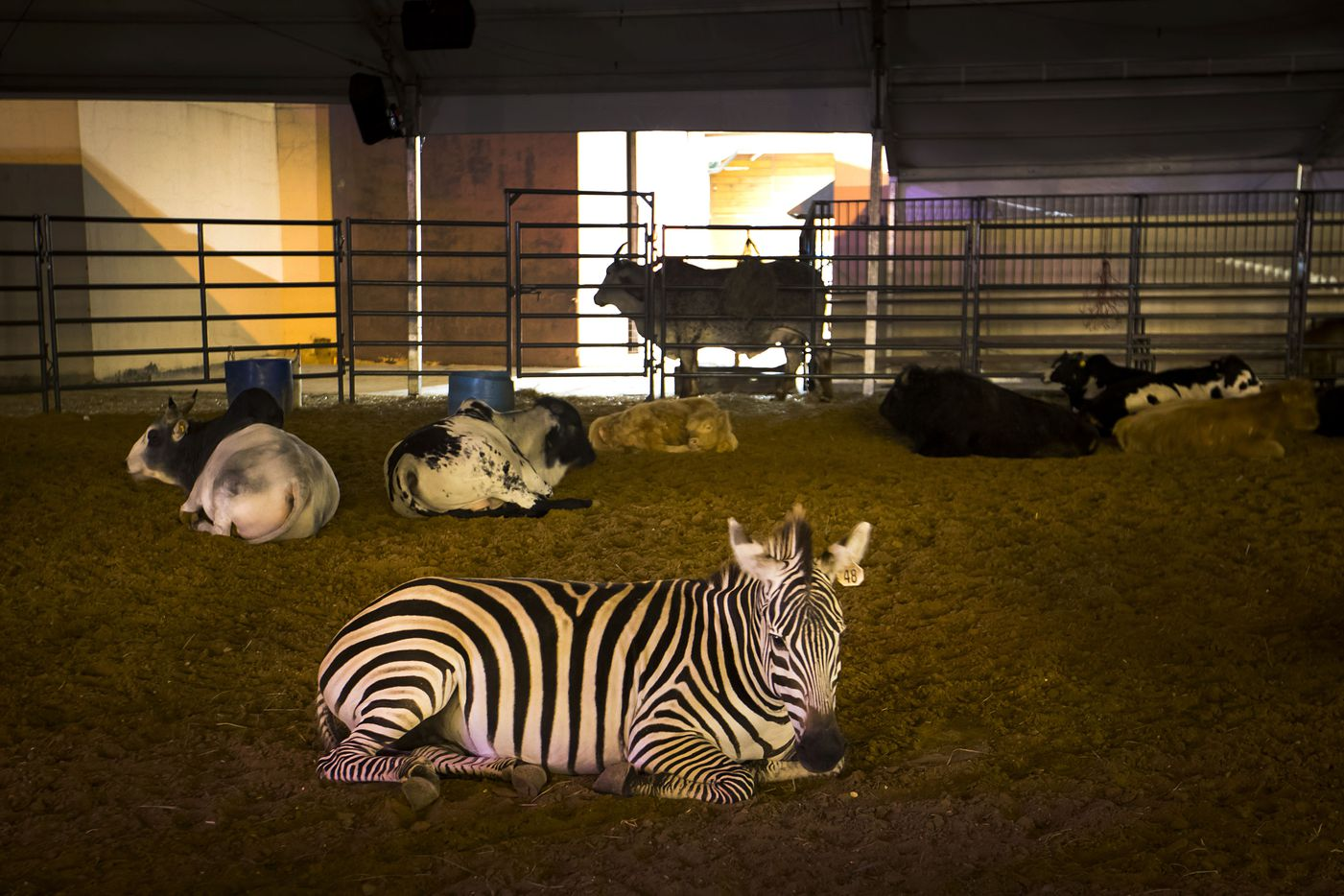 A zebra rests with other animals in a dark and quiet arena at the State Fair of Texas after closing.
