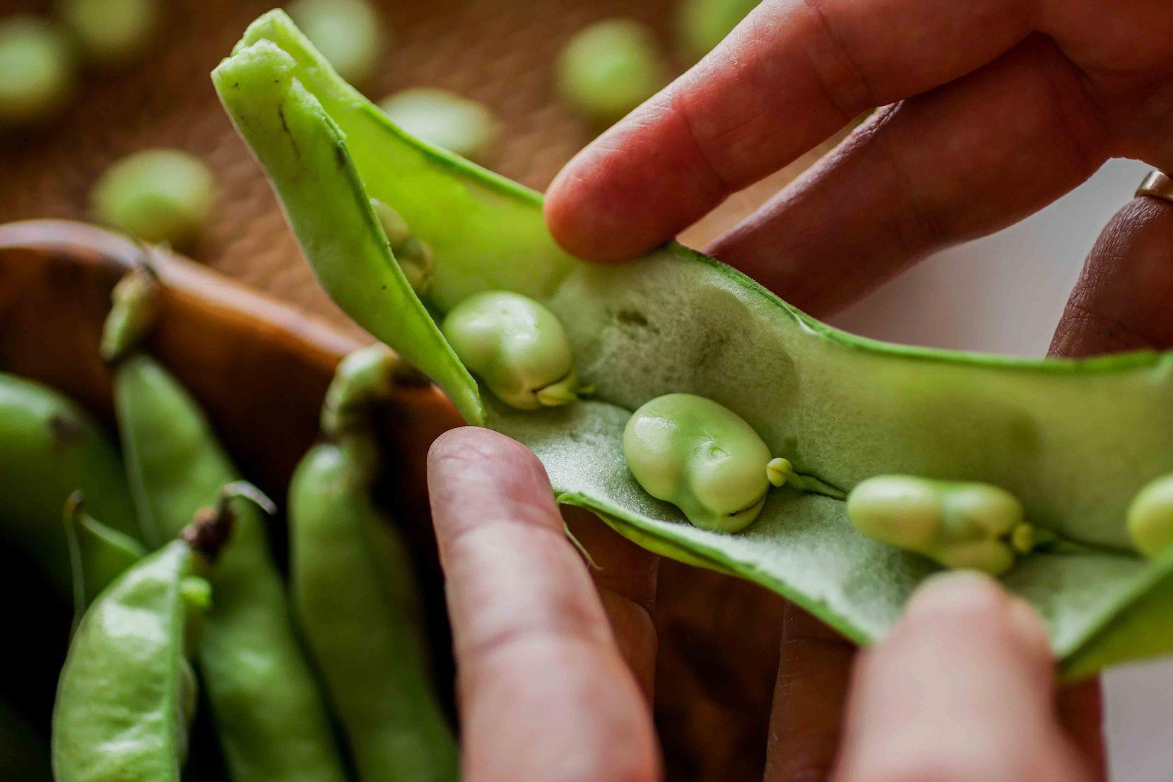 Fresh fava bean pod, opened at the seam