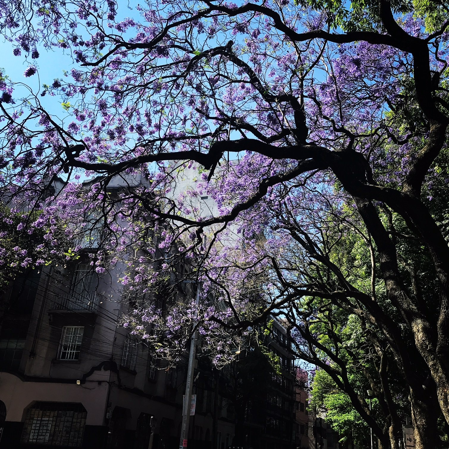 Spring in Mexico City is colored by purple jacaranda trees. For some it's the only beauty amid a contentious presidential campaign that ends July 1st.