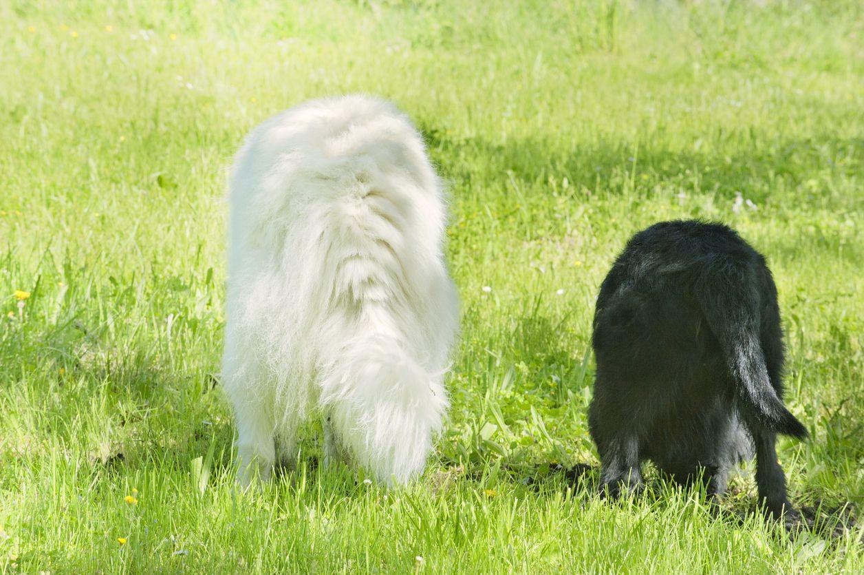 Un perro encontró  pasta de heroína negra, con un valor de 85,000 dólares. /iStock