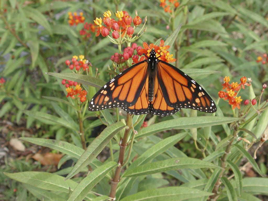 A male monarch butterfly feeds on the flowers of a Mexican milkweed.