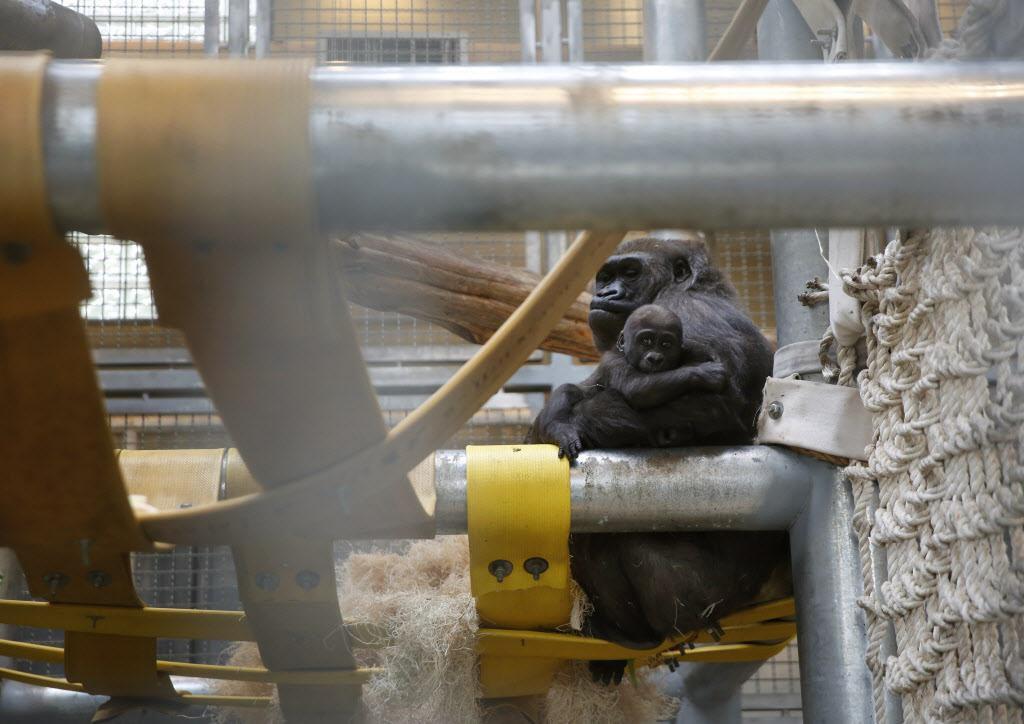 La gorila Hope carga a Saambili, su bebé de 7 meses, en un espacio con calefacción que no está visibile al público en el Zoológico de Dallas.  ROSE BACA/DMN